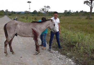 Indignación por equino que fue arrollado y abandonado a su suerte en la vía